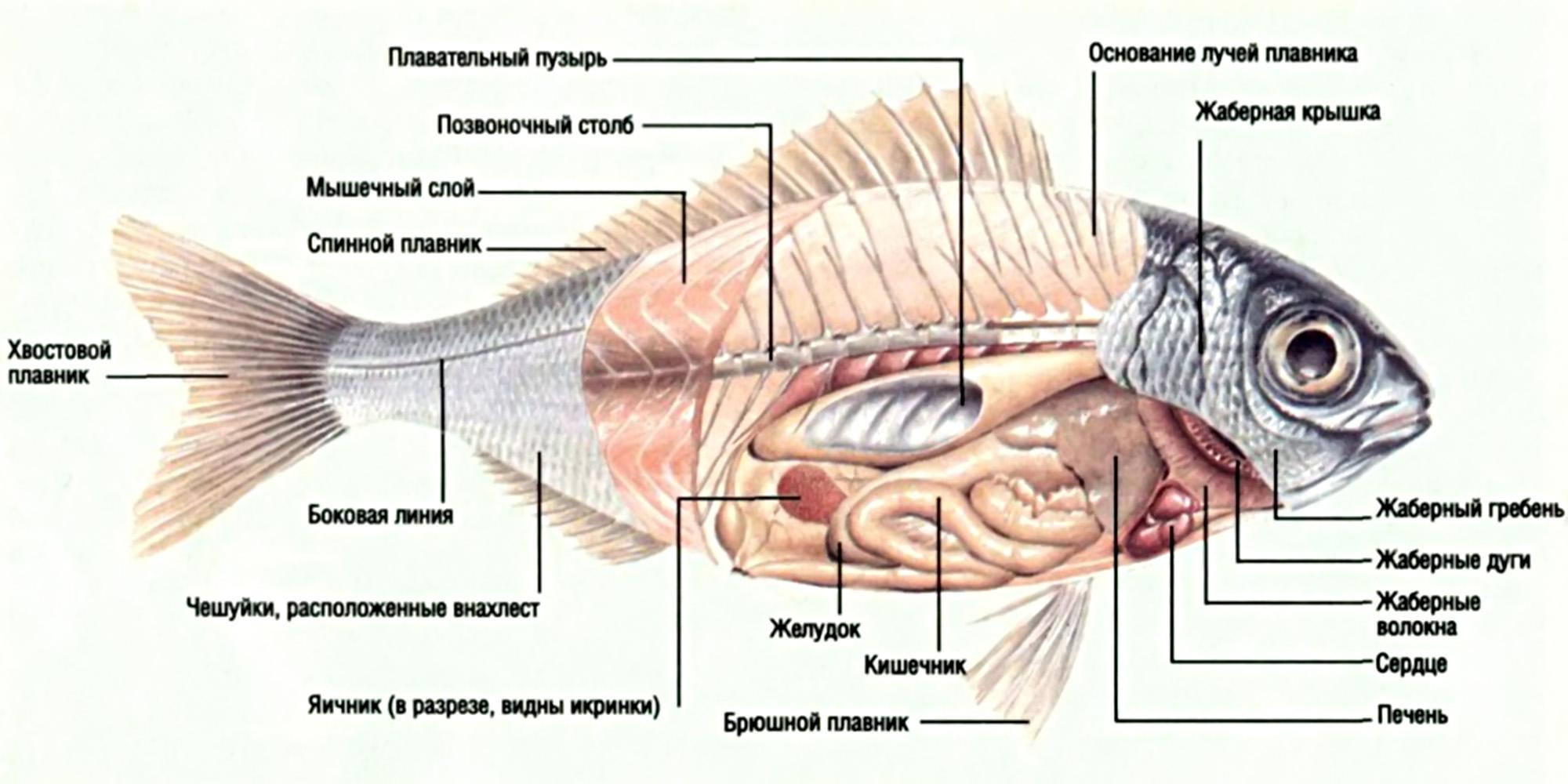 Схема строения сердца у хрящевых рыб