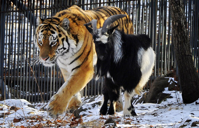 Тигр и козел приняли маленьких гостей ...: www.islam.ru/news/2016-01-09/45383